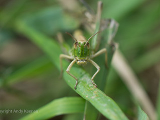 Photographing Grasshoppers and Crickets