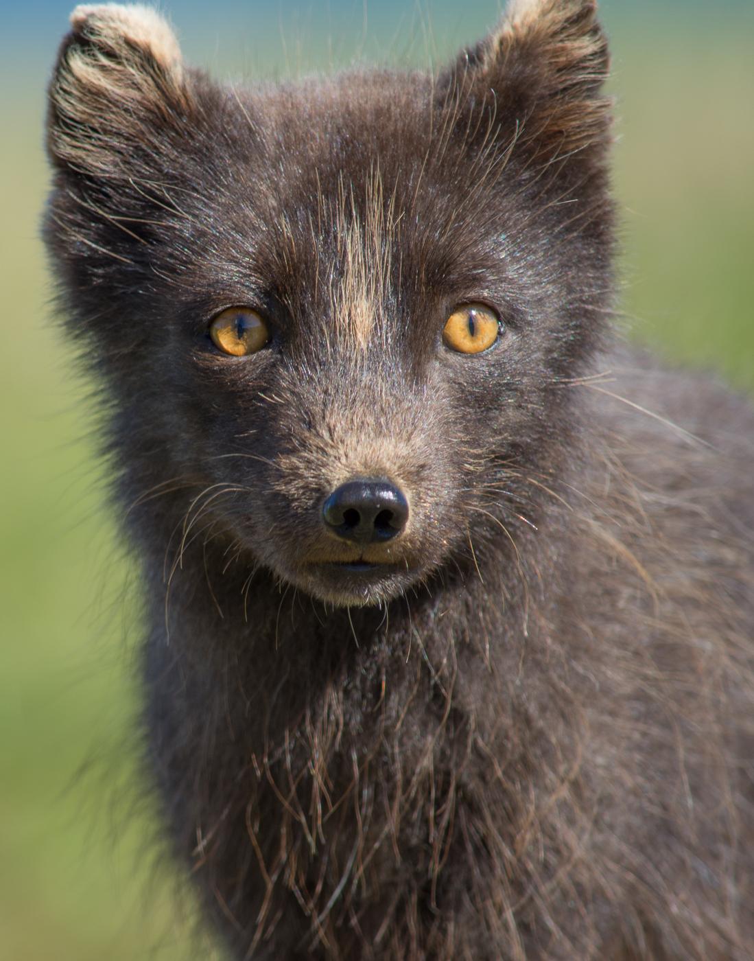 Arctic fox (4)