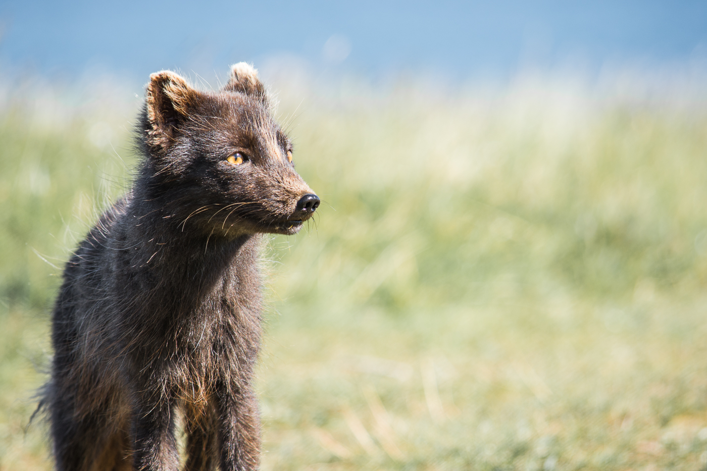 Arctic fox (10)