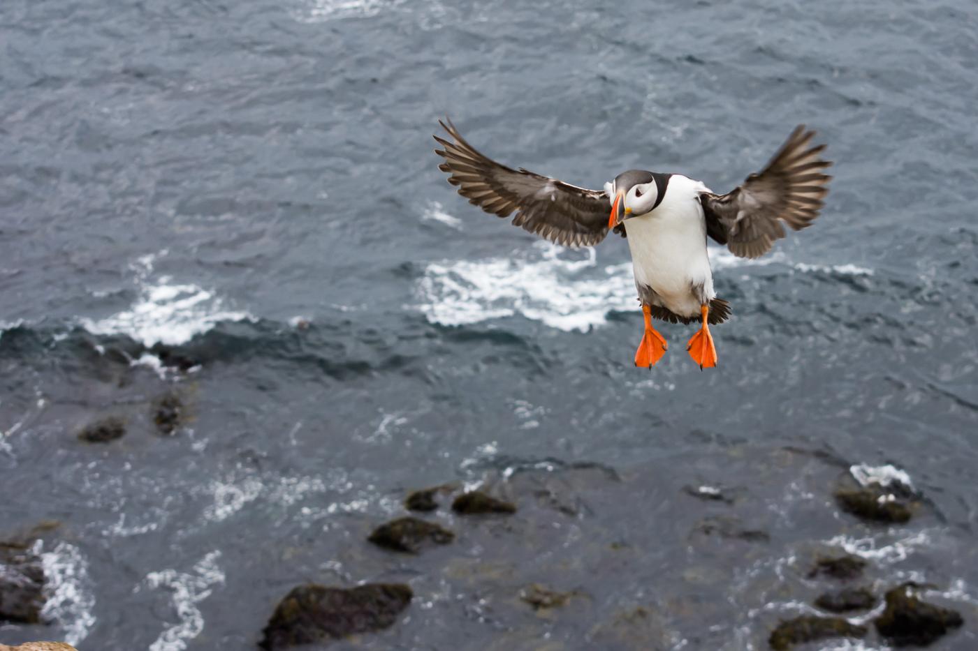 Atlantic Puffin (1)