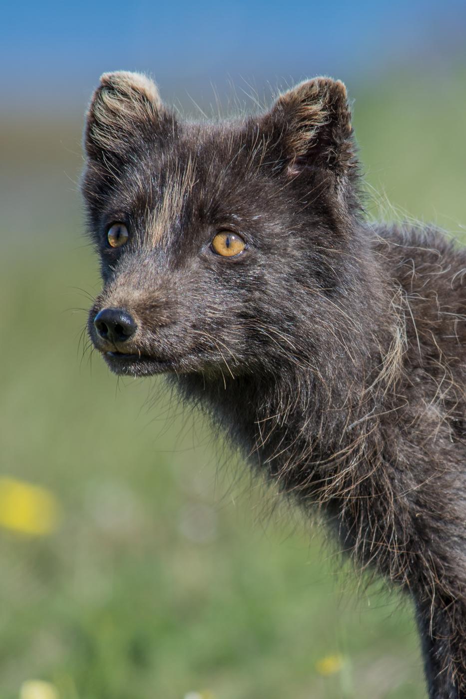 Arctic fox (8)