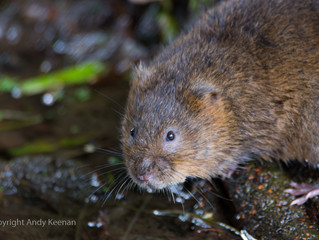 Photographing Water Voles