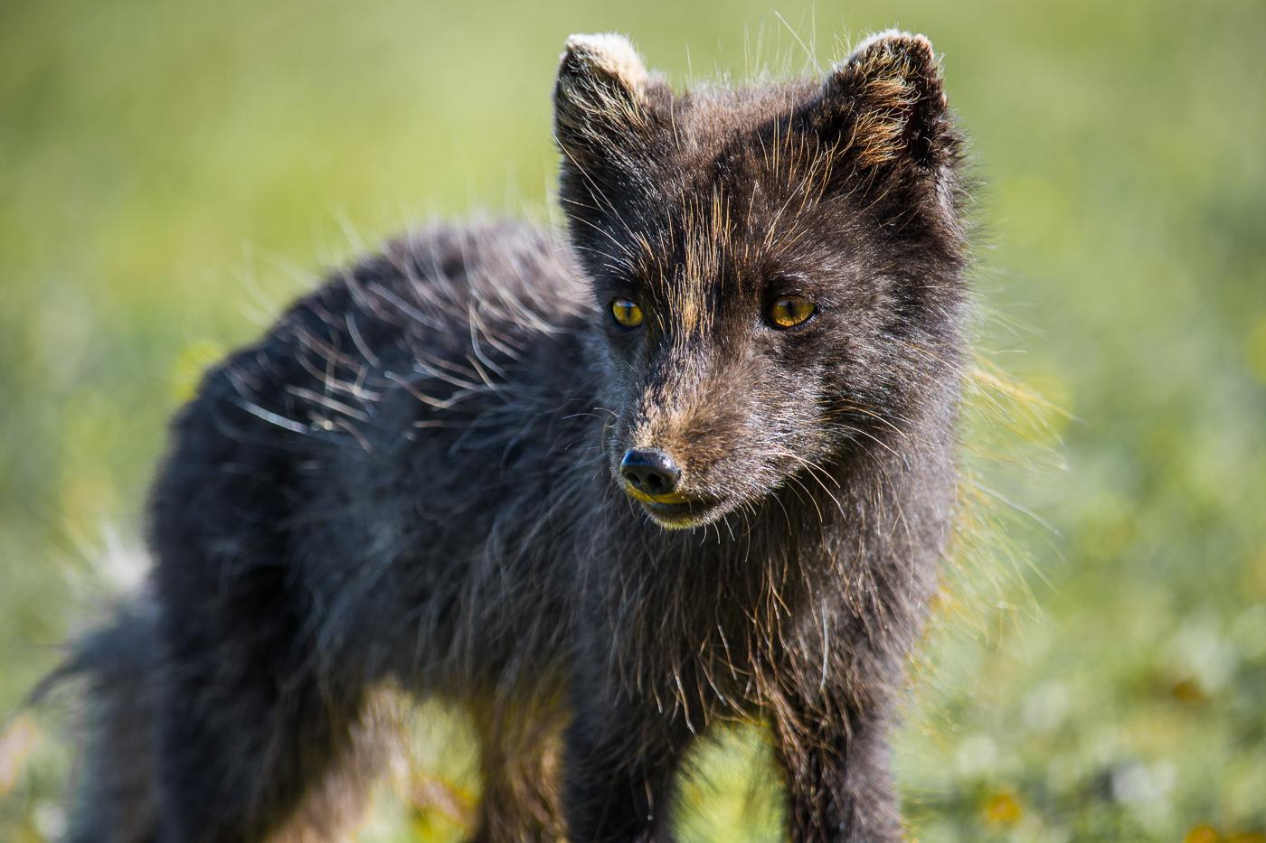 Arctic fox (13)