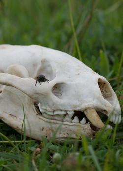 Chafer on skull