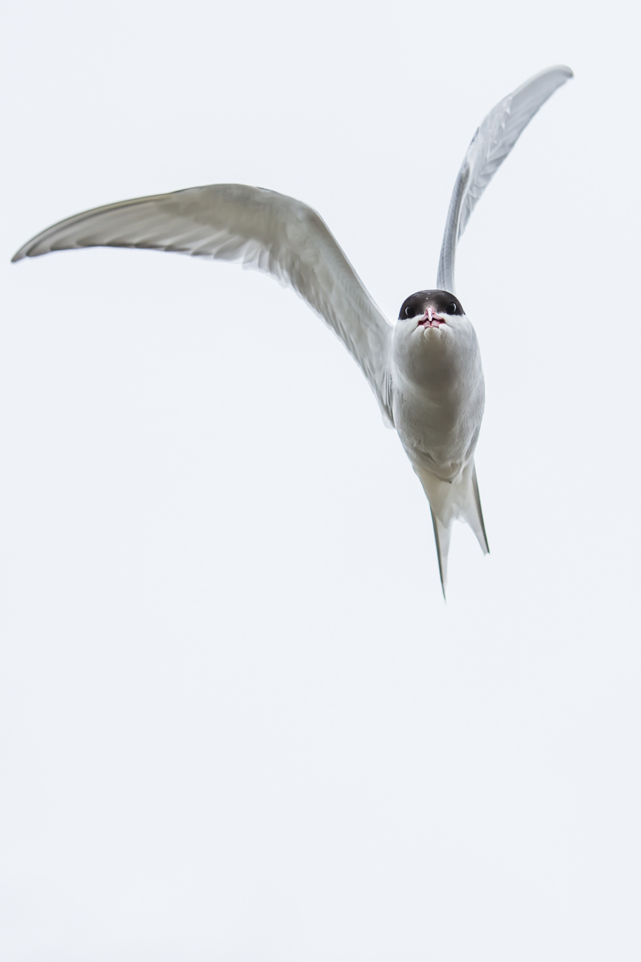 Arctic Tern (2)