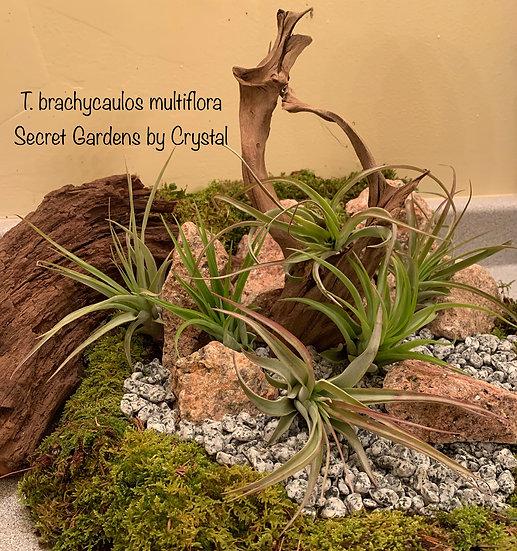 Tillandsia brachycalous multiflora