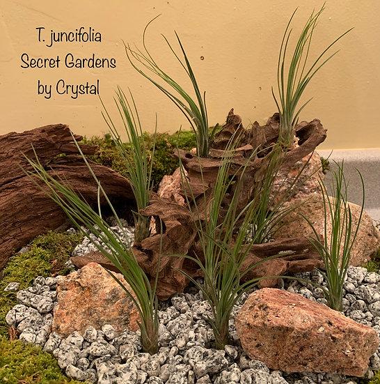 Tillandsia juncifolia, med