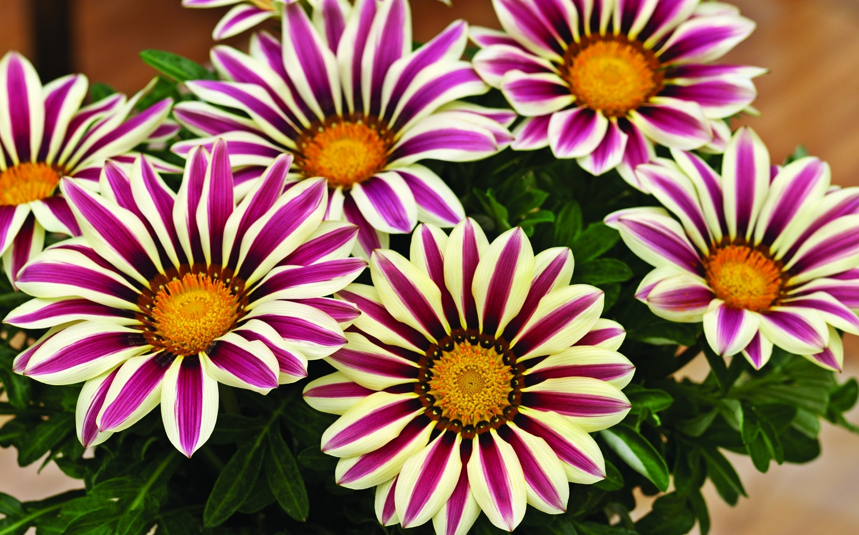 Gazania Big Kiss 'White Flame'
