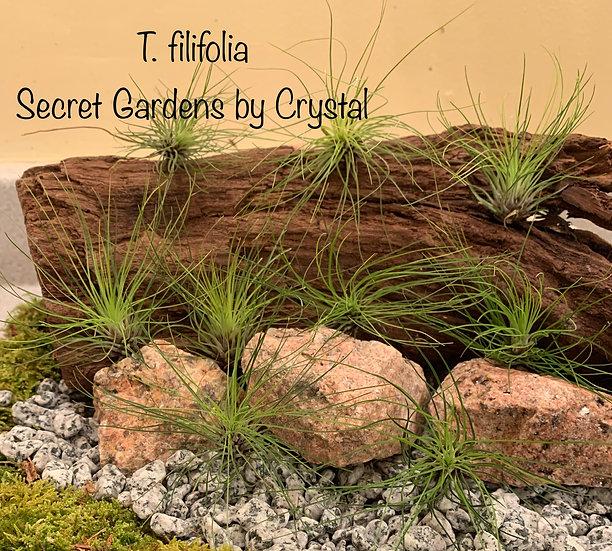 Tillandsia filifolia, med