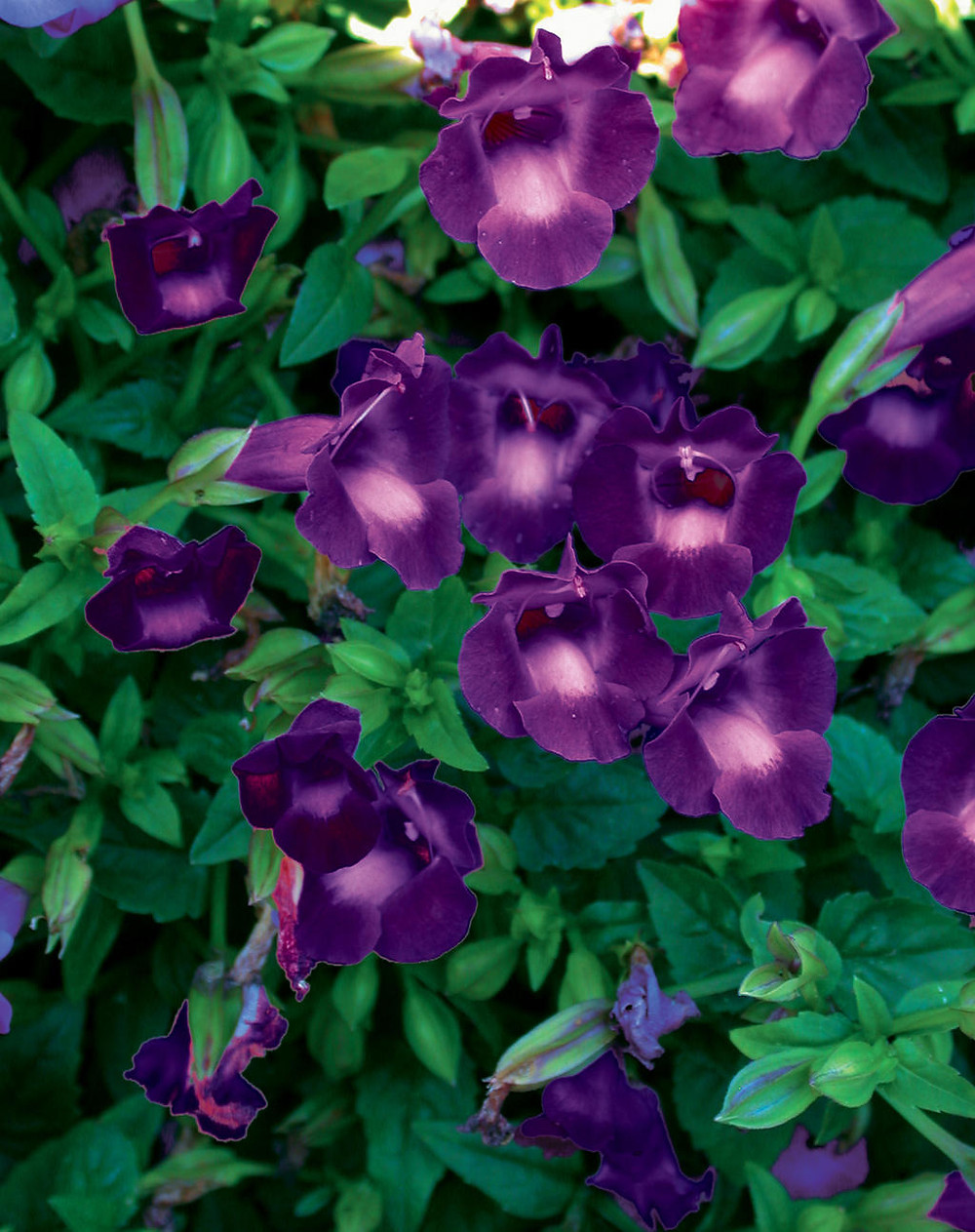 Torenia Summer Wave Large Violet photo credit Proven Winners