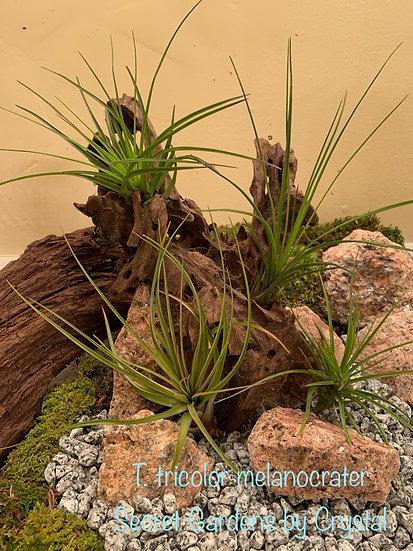 Tillandsia tricolor melanocrater, med