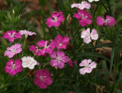 Dianthus 'First Love'