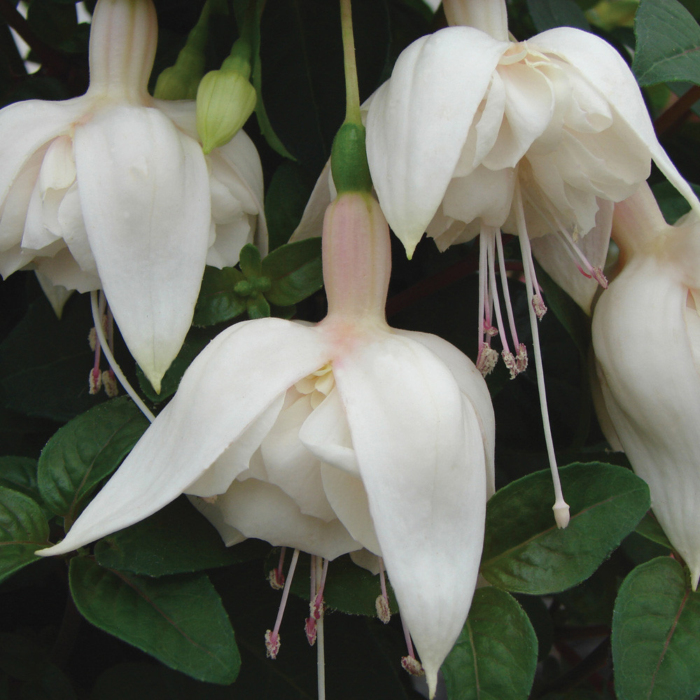 fuschia white king photo credit vernonplants com.jpg