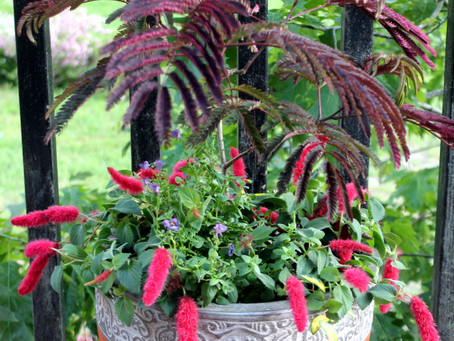 Container Gardens Part 3 - Choosing Plants: The Drama Queen