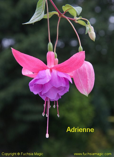 Fuschia 'Adrienne' photcredit fuschiamagic.com