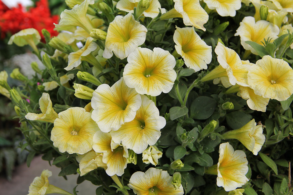 Supertunia® Limoncello photo credit greenhouse product news