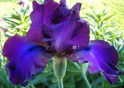 Bearded Iris 'Gypsy Romance'