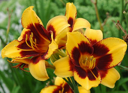 Daylily 'Exotic Love'