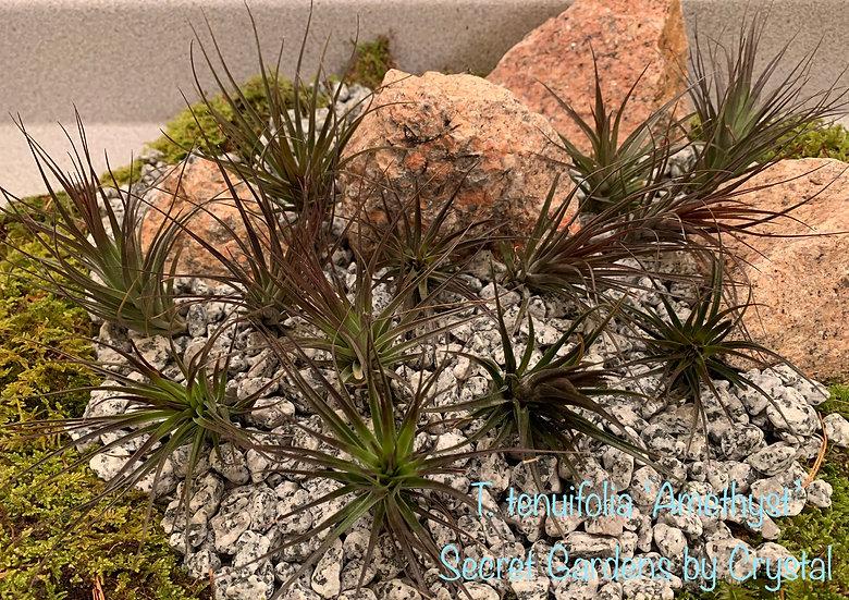 Tillandsia tenuifolia 'Amethyst'