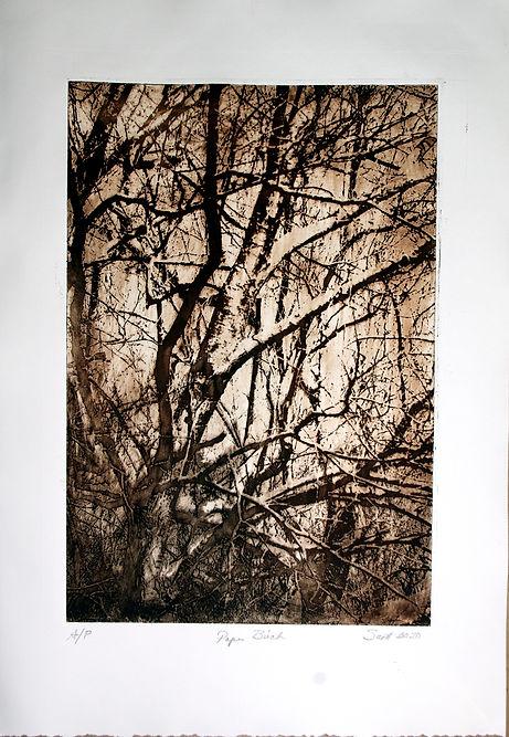 Paper Birch.jpg