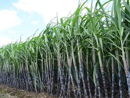 The Sugar Cane Chop!