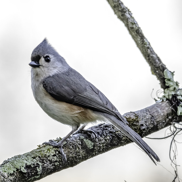 Small Tufted Titmouse