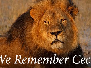 Cecil, the Lion: From the Other Side