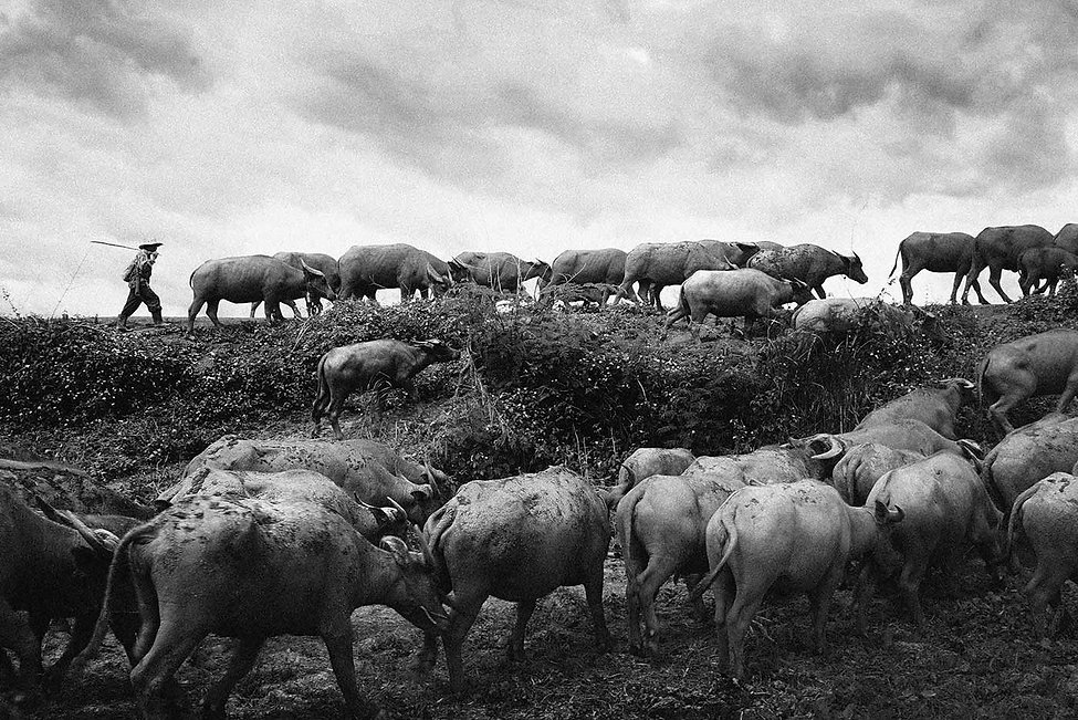 Buffalo breeders in Chiang Rai.