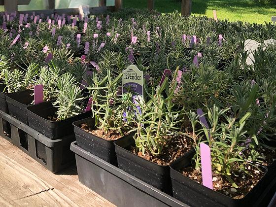 Potted Lavender Plant- Phenomenal