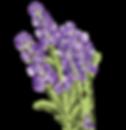 lavender -02.png