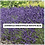 Thumbnail: Potted Lavender Plant Edelweiss, Hidcote, Provence