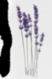 lavender-2452106.png