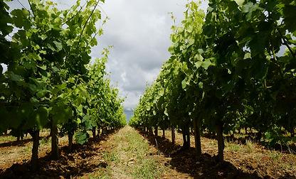 Les vignes Larrivaux