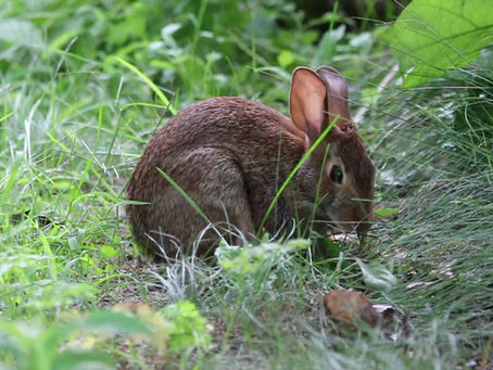 Companion Plants to control pests & Rabbit control w Sea-Hume gran.