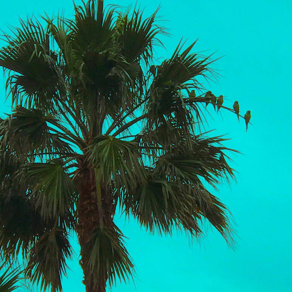wild parrots of malibu, aqua
