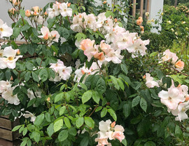 My favourite rose