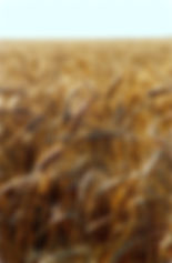 Wheat field near Goessel KS. | Goessel Museum | Mennonite Museum