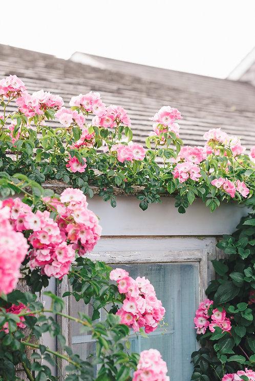 Pink Rose Covered Cottage 1
