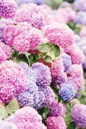 Pink Nantucket Hydrangeas