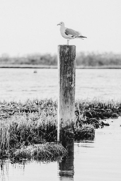 Madaket Gull