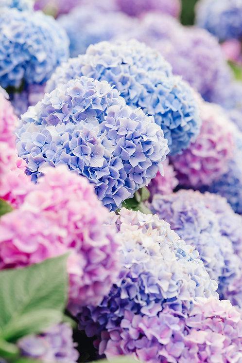 Blue and Pink Nantucket Hydrangeas 1