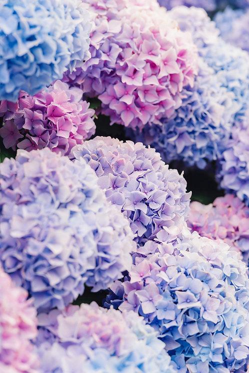 Blue and Pink Nantucket Hydrangeas 2