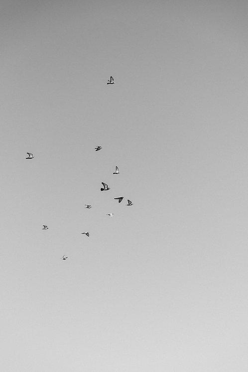 Pigeons BW