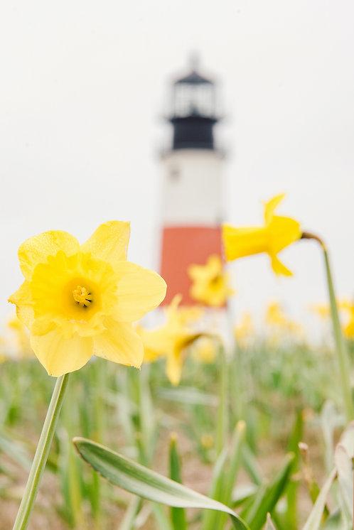 Daffodils at Sankaty Head Light 2