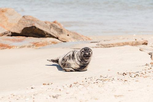 Jetties Seal Pup