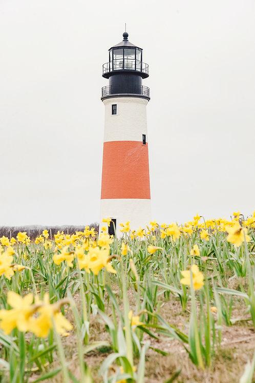 Sankaty Head Light Daffodil Field