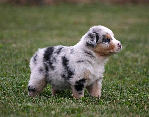 german shepherd mix puppies for sale lancaster puppies - 481×376