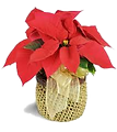 puny poinsettia.png