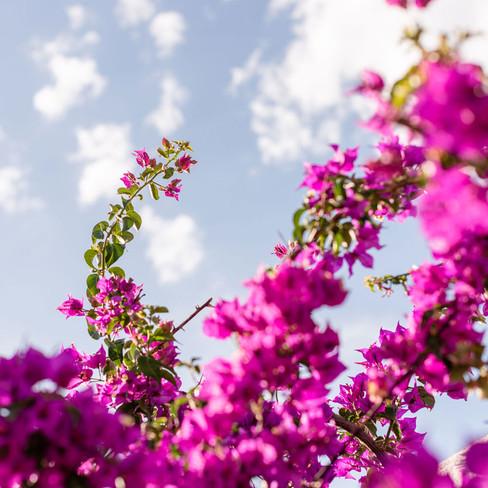 Petunia Ibiza Hotel - Bougainvillea Everywhere