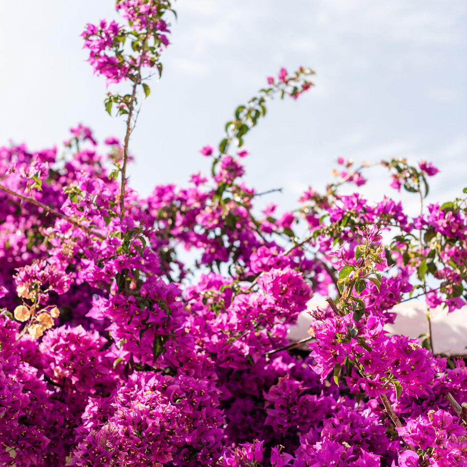 Petunia Ibiza Hotel - Bougainvillea Everywhere